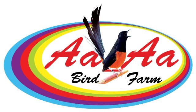 Breeding Murai Batu Ring Aa Aa Bird Farm