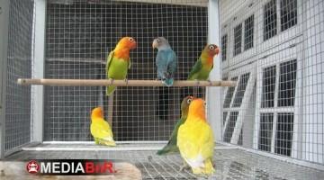 Anakan Love Bird Siap Kirim