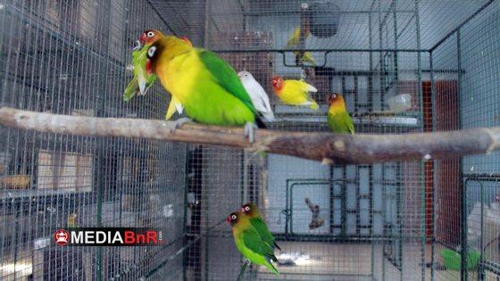 Hasilkan Love Bird KW 1 dan Berbagi Tips Cara Memilih LB Calon Juara