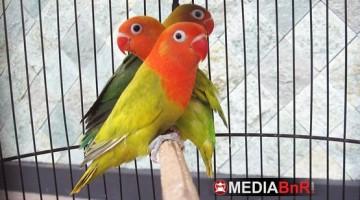 Baby Love Bird Jenis Edge (ekornya ada hitamnya)