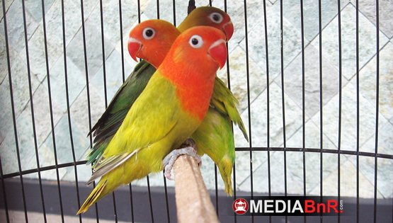 Breeding Love Bird Warna Ring SJ (Sri Jaya), Ternak Dari Titik Nol