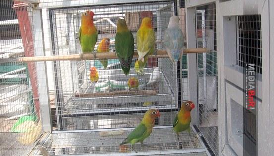 Baby Love Bird Siap Antar ke Konsumen