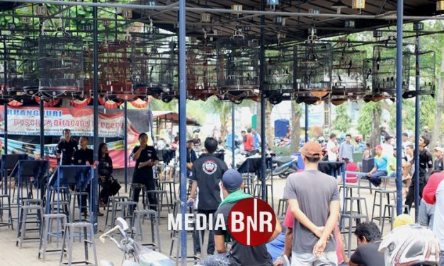 Stabil Meriah, Batavia Enterprise Jadi Tempat Berkumpulnya Kenari Mania