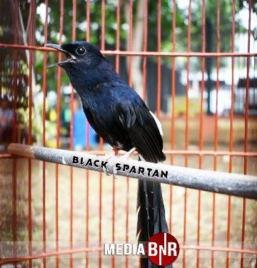 Kiki Ares Totalitas Kembangkan Black Shama Koleksinya