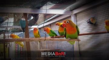 Breeding Love Bird Koloni