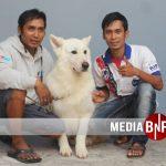 Penangkaran White Swiss Shepherd dan German Shepherd Dari Kota Klaten Jawa Tengah