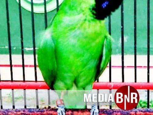 Mr. Cemplux NT BF Juwana Orbitkan Kualitas Alligator Menuju Piala Kretek IV Kudus