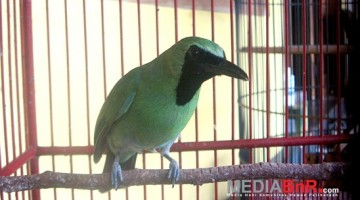 Cucak hijau Sniper milik Nanang BRI Syariah (Foto: Agus/MediaBnR.Com)