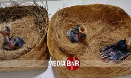 DRP Bird Farm – Boyong Burung-burung Jawara, Sebagian Masuk ke Penangkaran