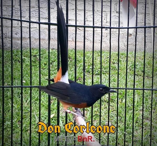 Don Corleone, Murai Batu Ring BnR Koleksi Ade KKLB