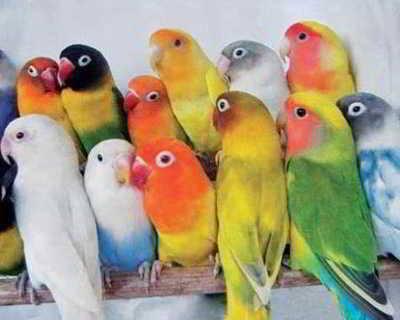 PENILAIAN LOVE BIRD TIDAK BERKUALITAS