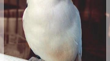 Genderuwo Lovebird Bandoeng Djoeara