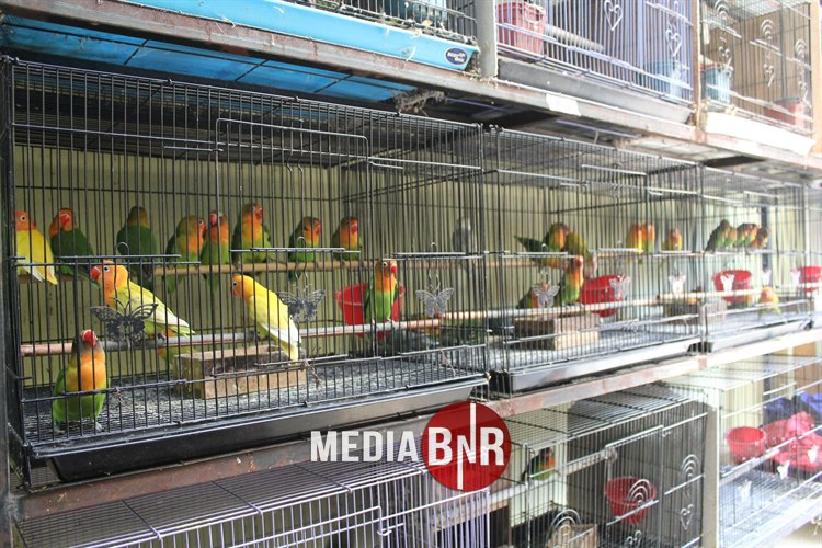 Suhu Dan Sirkulasi Udara Penentu Produktivitas, Trah Jawara Ring Berlian Terbang Antar Pulau