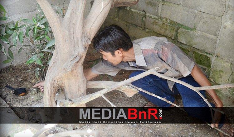 Herman yang Mencoba Memberi Makan Murai Batu di Salah Ssatu Kandang