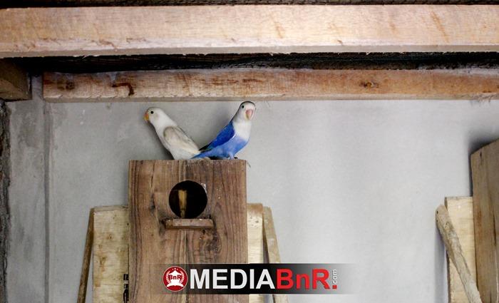 salah satu pasang materi indukan Axel Bird Farm