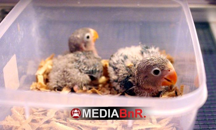 anakan umur 5 hari yang masih didalam inkubator