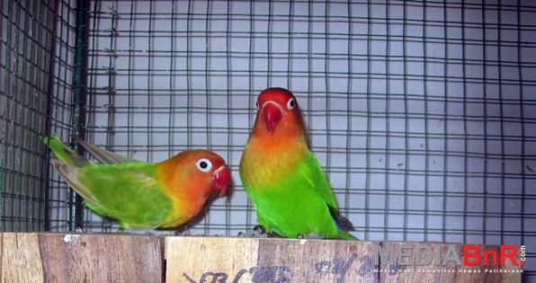 Lilik Soba Sukses di Love Bird Trah Ngekek