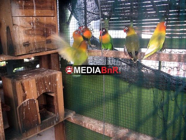 Indukan love bird