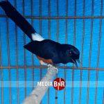JGC Bird Farm – Murai Batu Raja Rimba Cetak Nyeri, Siap di Jodohkan Dengan Pelor Mas Jr