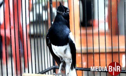 Kacer Bird Champion Indonesia