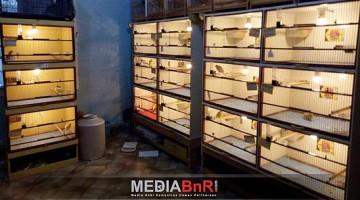 Kandang Ternak Hexa Breeder Canary di-Design Agar Indukan Lebih Produktif