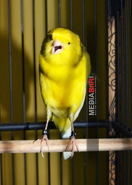 Gelar 3 Burung Indoor