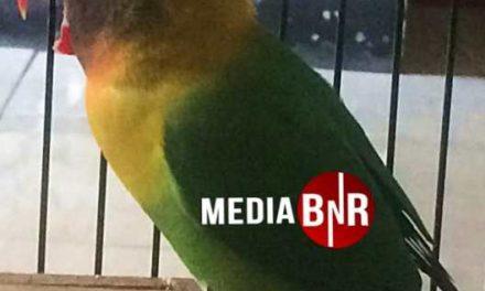 KING ARTHUR : LOVEBIRD KONSLET PENDATANG GRES CETAK HATTRIK DI PIALA RAKYAT TANGSEL JILID 2