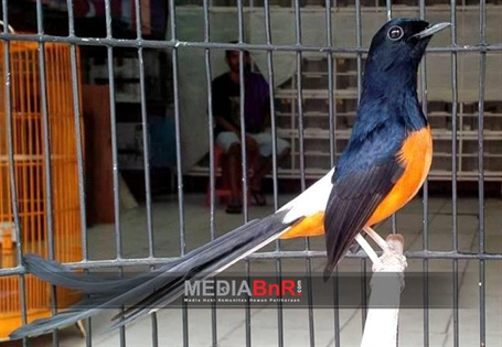 Murai Bahorok Dan Marike Leuser Bird Shop Yang Terbaik Mediabnr