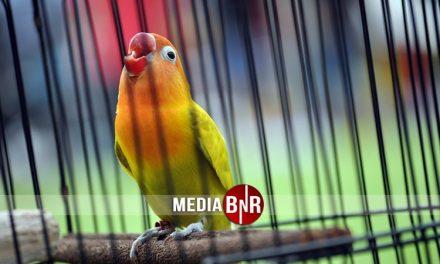 Belum Puas Bersaing di Piala Pasundan II, 4 Love Bird Jawara ini akan bertemu di Airin Cup II