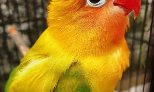 Masa Rehat Gotik Habis, Akan Jadi Ancaman Love Bird Mania