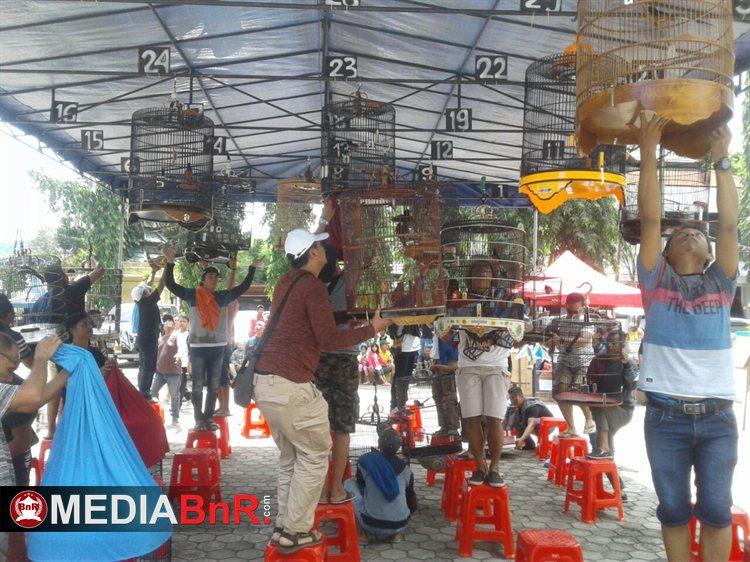 Lomba burung perang bintang - kicaumania jayapura papua (11)