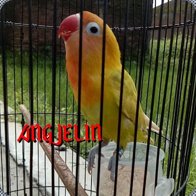 Love Bird Angjelin