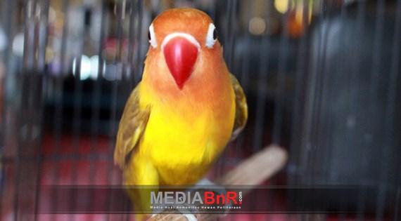 Love Bird Cantik