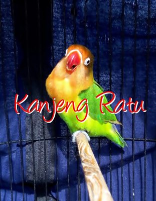 Love Bird Kanjeng Ratu