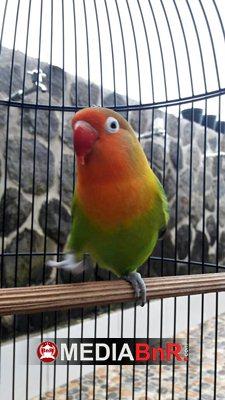 Love Bird Melati