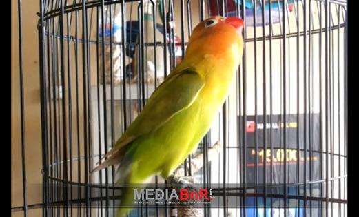 Love Bird Ring Jipung