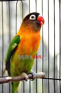 Ilustrasi Lovebird (mediabnr)