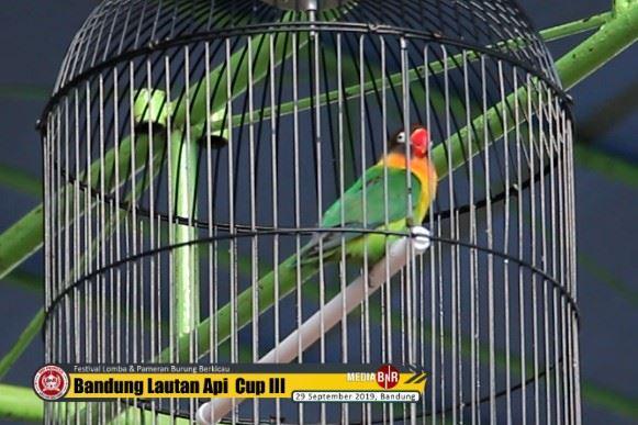 Lovebird GIGOLO, Jawara Dari Bangka Menjadi Idola di BLA 3