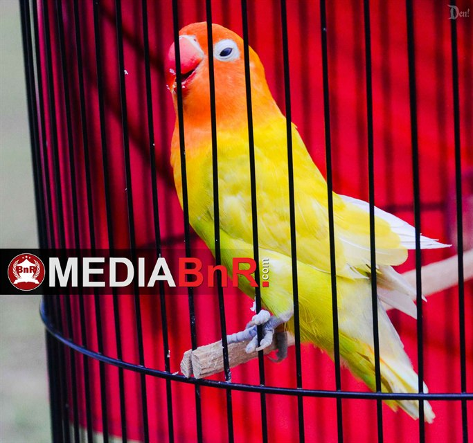 Lovebird INTAN milik Puspita Ifan Jaya SF