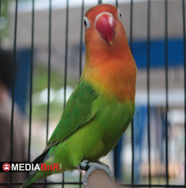 Lovebird Isbek (Ring Espana LBF Jogja). Meniti Karir Sejak Dari Paud