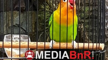 Lovebird Jampang besutan om Ahmad Masruri King's Man BC Palembang