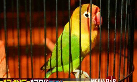LOVE BIRD FIGHTER DI BnR