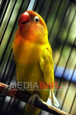 Lovebird Shanty Milik Putri  Wijayanti KLI Jogja Siap Bersaing di Kelas Ring