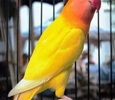 Lovebird Wayang