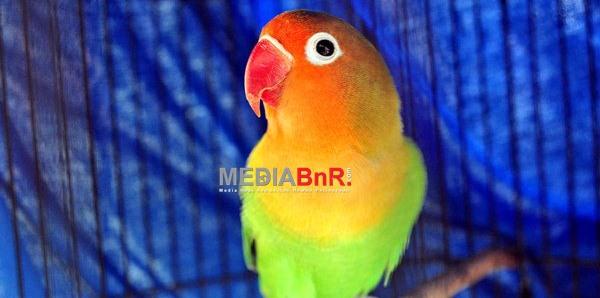Pakem Love Bird Minimal 30 Detik Bunyi 6 Kali Baru Nominasi