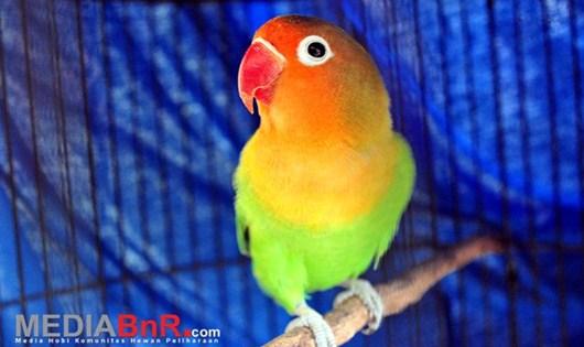 Love Bird Macet Bisa Ngekek Lagi