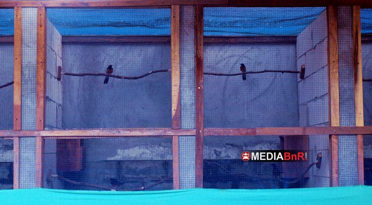 Murai Batu Toper BF Berkualitas Jawara