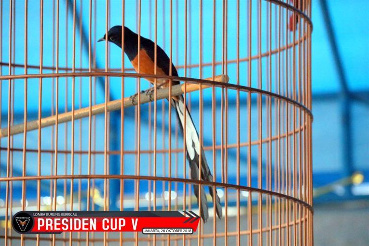 Ar Rodja Bagoes Bird Farm : Patut di syukuri bisa hadir di Pres Cup V, Burung bersanding dengan Para Jawara Papan Atas