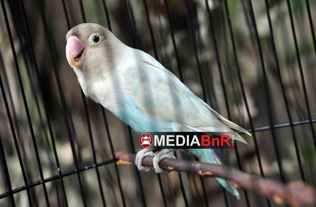 Musdalifah tampil curi perhatian lovebird