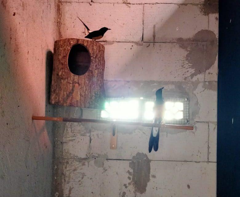 JGC Bird Farm – Panen Anakan Trah Jawara